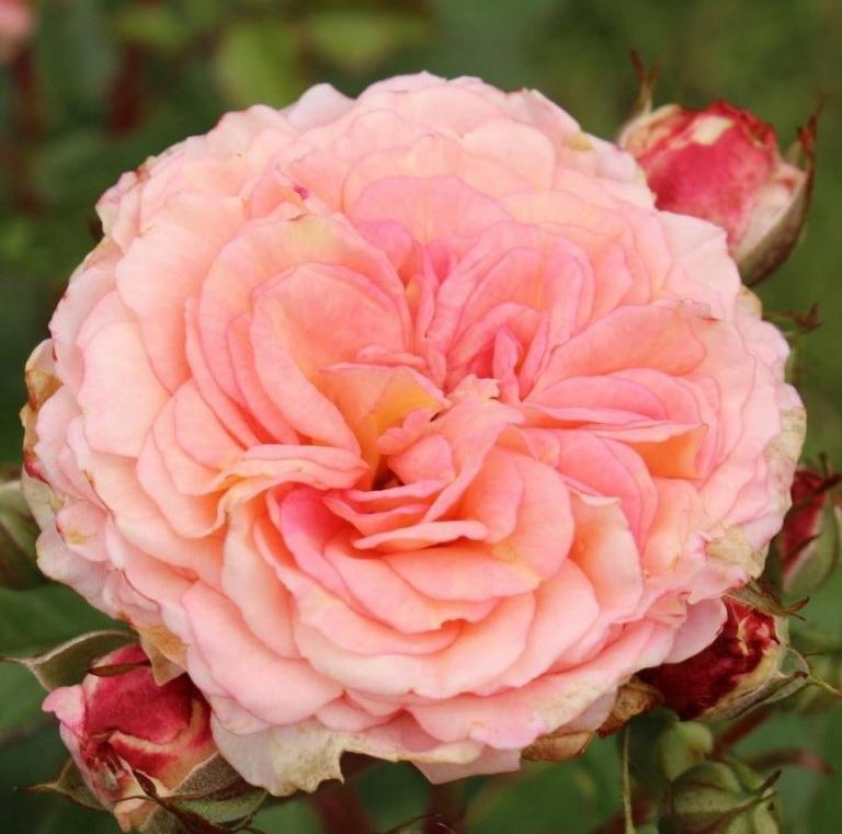 Роза флорибунда AMARETTO (Kordes)