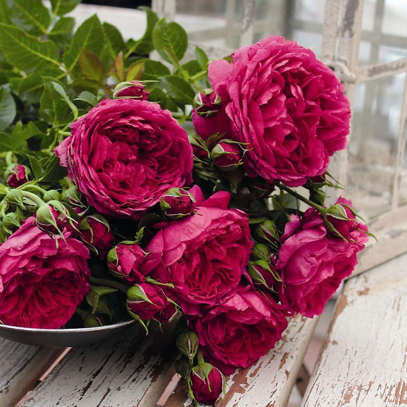 Роза кустовая SOUL (Tantau)