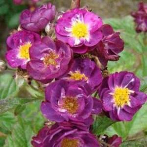 Роза кустовая VIOLET HOOD  (Lens)