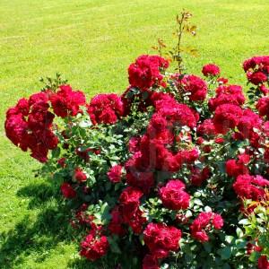 Роза флорибунда Paprika, немецкий питомник Tantau