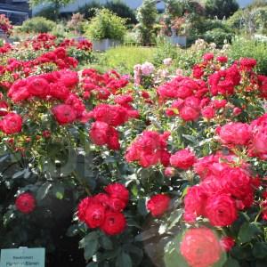 Роза флорибунда Planten un Blamen, немецкий питомник Kordes