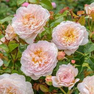 Роза кустовая EMILY BRONTE (D.Austin)